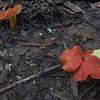 Scarlet Waxy Cap mushroom (Hygrocybe coccinea)