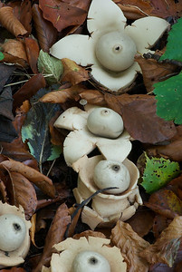 Geastrum triplex - collared earthstar