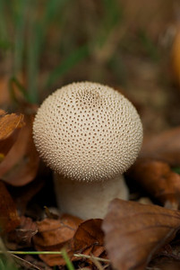 Prob: common puffball