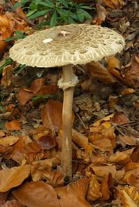Prob: macrolepiota procera - parasol mushroom Poss: amanita citrina - white false deathcap.