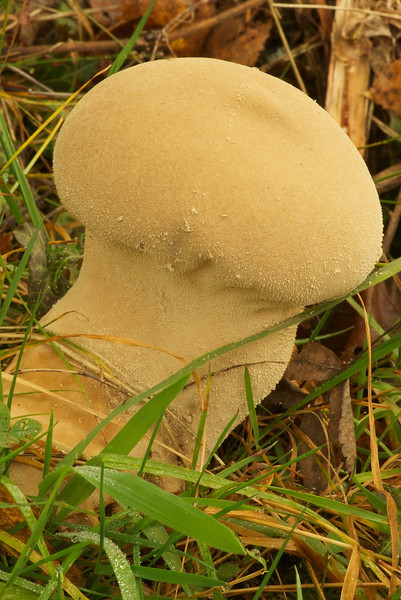 prob: puffball mushroom of unknown type