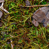 Entodon seductrix  Seductive Entodon Moss