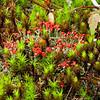 British Soldier Lichen (Cladonia cristatella)