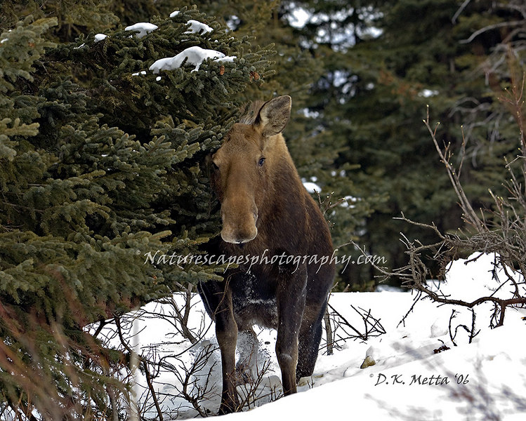 Shy Moose