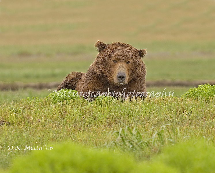 """When Does it quit raining around here? Boar Grizzly patiently waitng out the rain - Katmai, Alaska"