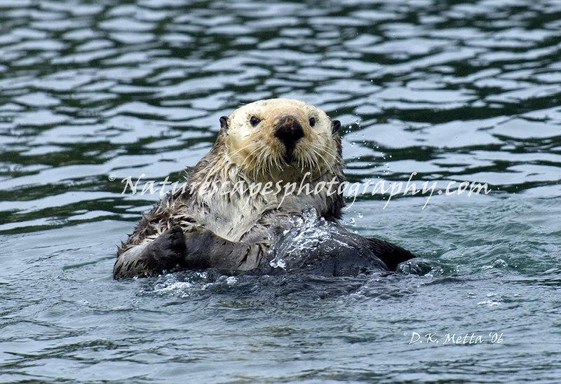 Sea Otter - Peterson's Bay Alaska