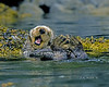 Life is Good! 80-90 Lb. Male Sea Otter, Katchemak Bay, Alaska