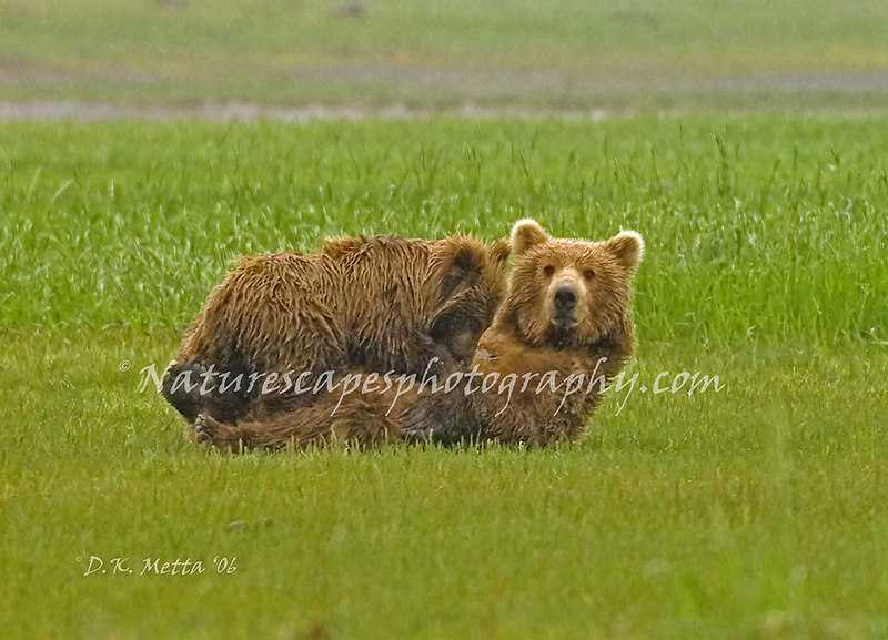 """Got Milk?"" Sow Grizzly nursing Cub in the rain - Katmai"