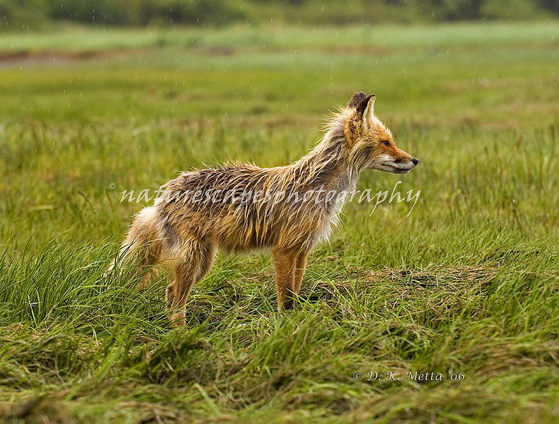 Drenched Red Fox - Katmai, Alaska