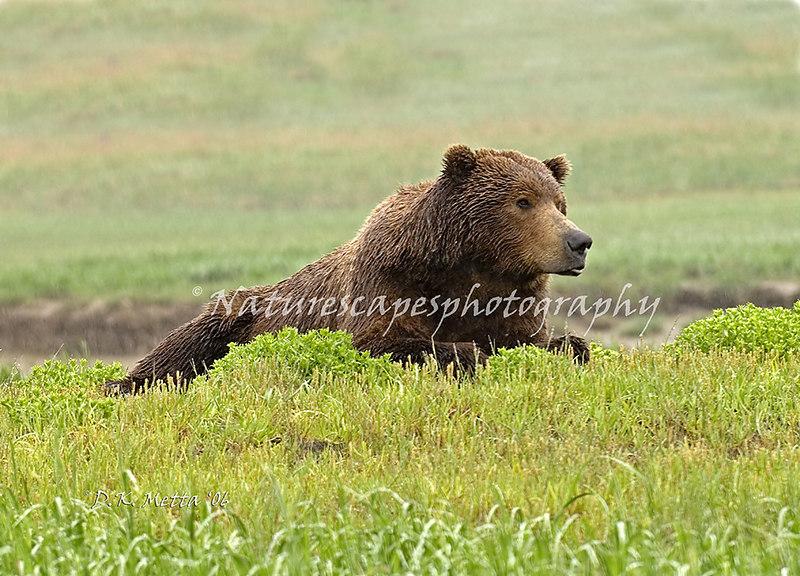 Boar Grizzly Bear in the rain - Katmai Alaska