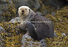 80-90 Lb. Male Sea Otter, Katchmak Bay, Alaska.  It's not often that a Sea Otter let's people get close when they are out of the water. They rarely exit the water unless it's very cold.
