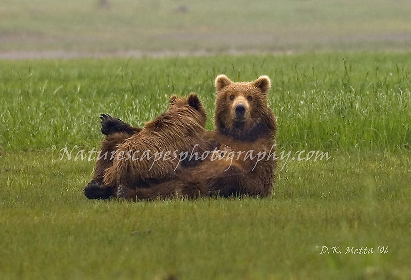 """Mother's Vigilance"" - Sow Grizzly and Cub, Katmai Alaska."