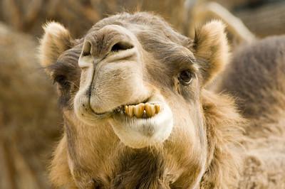 Smile, you're on camel camera! captive
