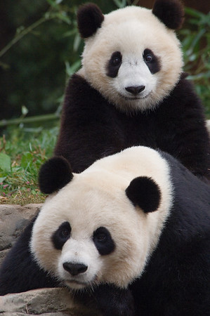 Mei Xiang and Tai Shan; captive