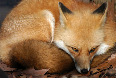 Red fox; captive