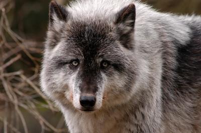 Wolf face; captive