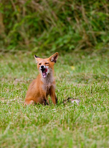 Yummy! wild red fox
