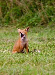 Yummy! wild red fox