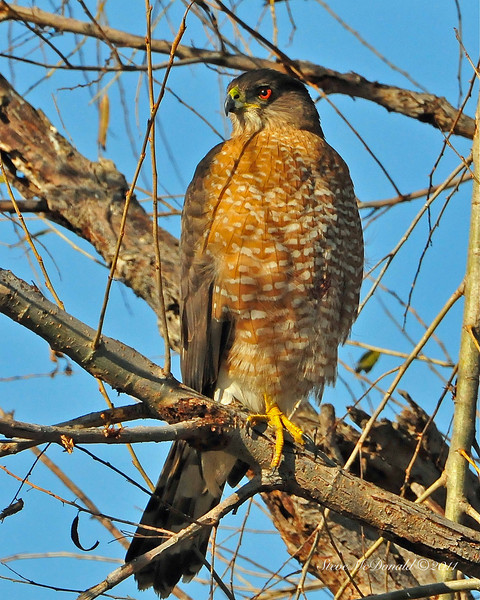 GBH & Coopers Hawk 06