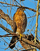 GBH & Coopers Hawk 07