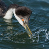 Western Grebe Catching a Fish