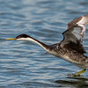 Western Grebe on the run