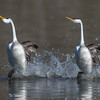 Clark's and Western Grebe rushing