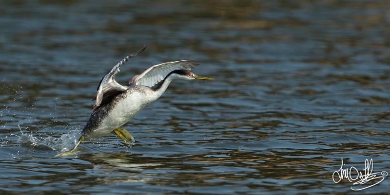Western Grebe Running on Water