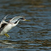Western Grebe Running on Water