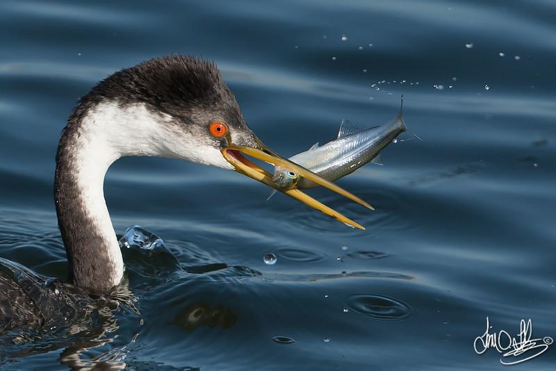 Western Grebe with a Fresh Catch