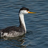 Clark's Grebe in breeding plumage