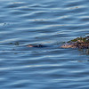 Common Loon chasing a fish