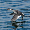 Eared Grebe on the Run