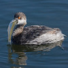 Eared Grebe with a Mouth Full