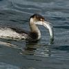 Eared Grebe with a Fish