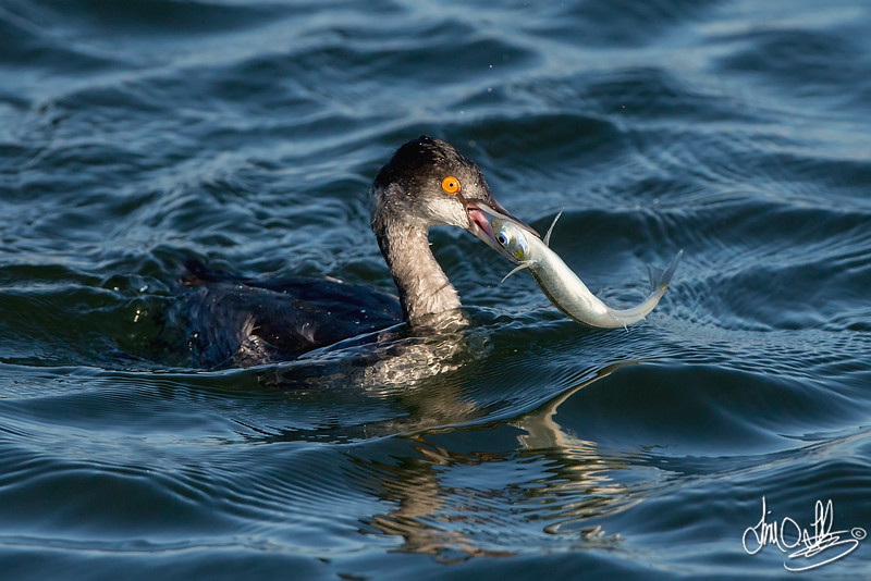 Eared Grebe with a fresh catch