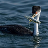Western Grebe with Catch