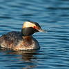 Horned Grebe in Breeding Plumage