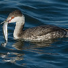 Horned Grebe with Catch