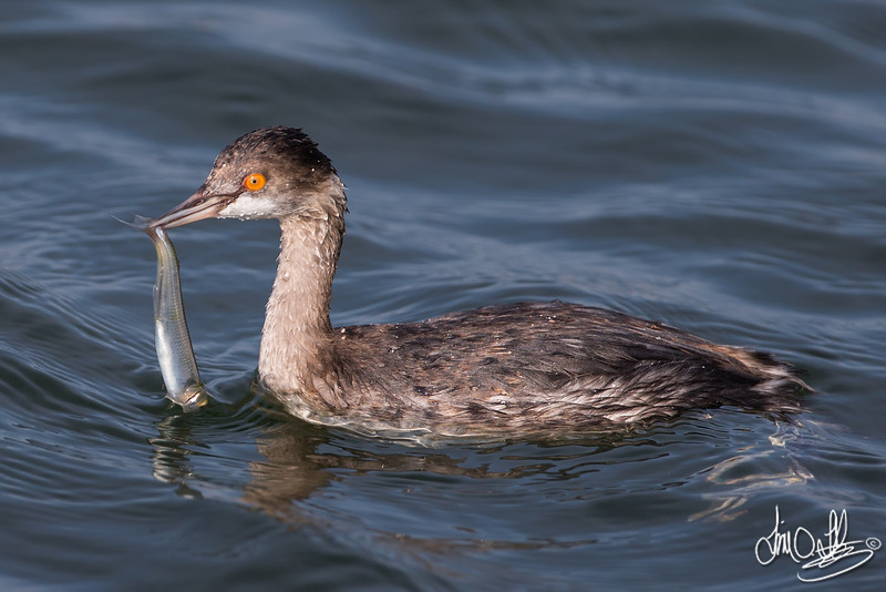 Eared Grebe with Catch (winter plumage)