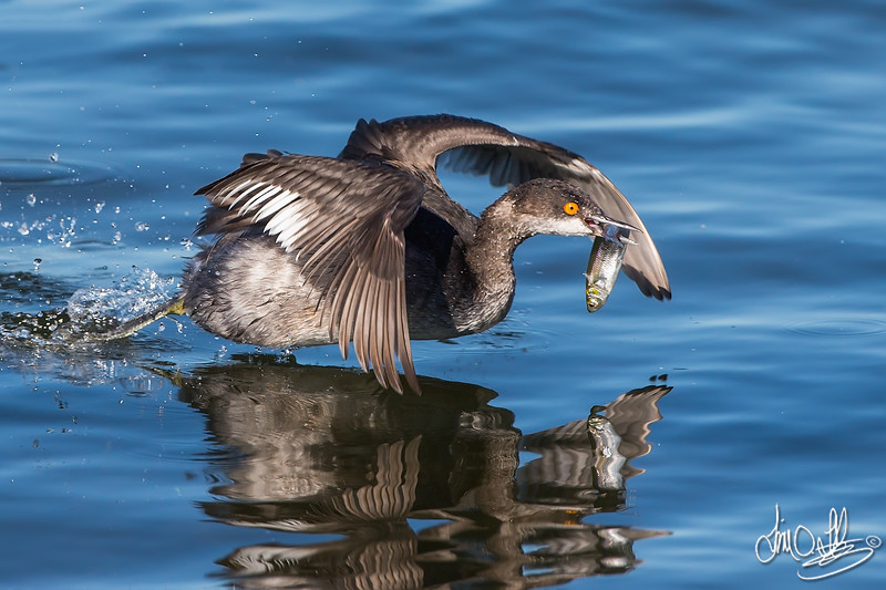 Eared Grebe with catch