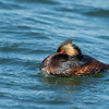 Eared Grebe in Breeding Plumage
