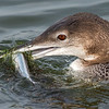 Common Loon with catch