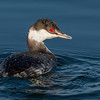 Horned Grebe with a Pipefish