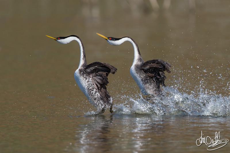 Western Grebes rushing