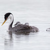 Western Grebe with chicks