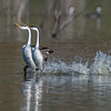Western Grebes rushing