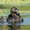 Pied-billed Grebe Mother and Chick