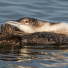 Common Loon preening