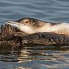Common Loon preening